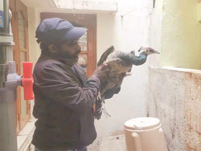 Peafowl rescued in Bengaluru