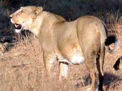 Lioness drowns in open well in Gir forest