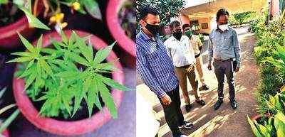 Cops uproot ganja plant at PCB office