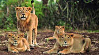 Gujarat: 97% rise in lions' population outside designated sanctuaries in 5 years