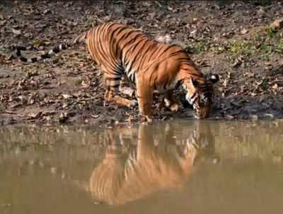 In landmark conservation effort, ferocious tiger rehabilitated to Dudhwa