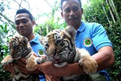 Cub at an Indonesian Zoo named Shah Rukh Khan after Bollywood badshah