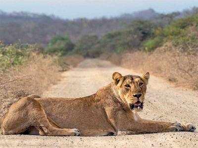 Forest department begins hiring… after 27 lions die