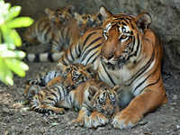 Ten-year-old tigress at Rajiv Gandhi Zoological park in Pune gives birth to four cubs