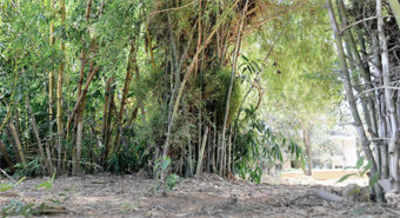 Bamboo shoot thefts hurting Narasipura Lake