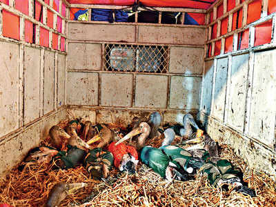 20 painted storks injured by banned Chinese manja in Sanand