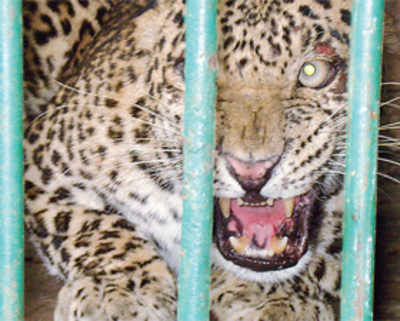 Dogs, cats common on leopard menu