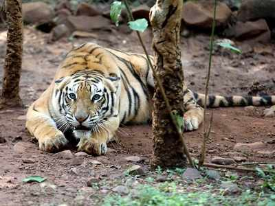 India's Tiger census sets Guinness Record for world's largest camera trap survey