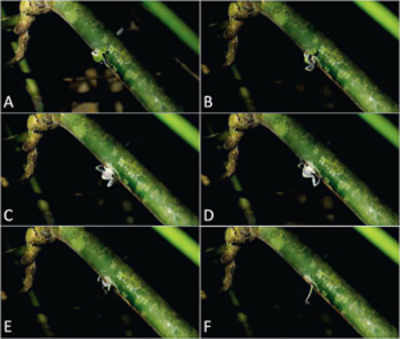 Rare, once-extinct tiny frog species lives inside bamboos