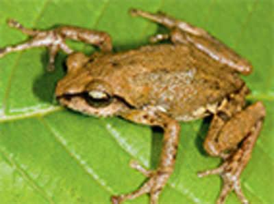 New frog species found in Biligiri hills