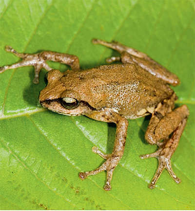 New frog species found in Biligiri hills