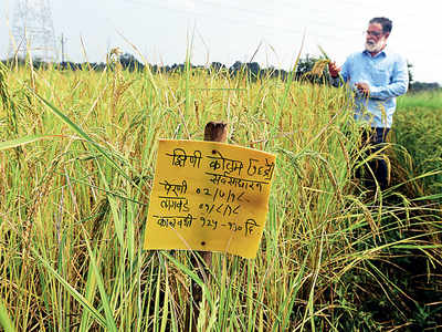 Palghar rice variety on brink of extinction: Wada kolam is fighting a losing battle