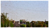 Locust alert: Is Delhi next after Rajasthan and MP?