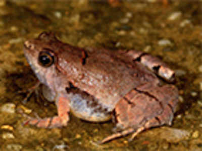 A tiny frog species discovered at Manipal, Mangaluru