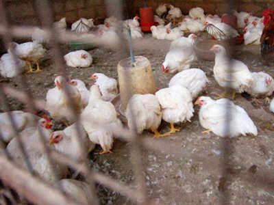 Bird Flu: Maharashtra issues red alert