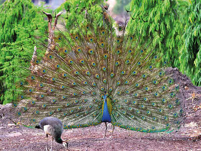 Feeding peacocks in times of drought