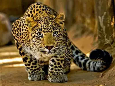 Cameras fitted to capture leopard movements stolen