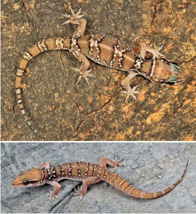 Researchers solve case of geckos' mistaken identity