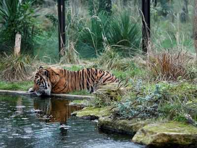 Byculla Zoo to get two tigers from Aurangabad tomorrow