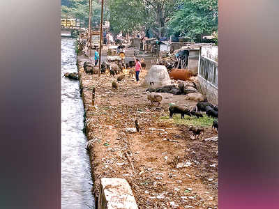 Stray pigs a menace in Wanowrie Gaon