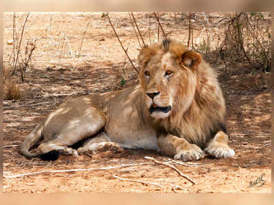 Number of dead lions in Gir Sanctuary touches 21