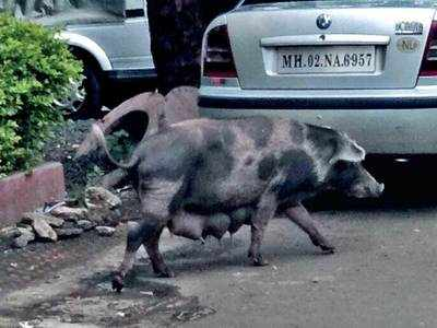 Petition in HC against stray pigs' slaughter