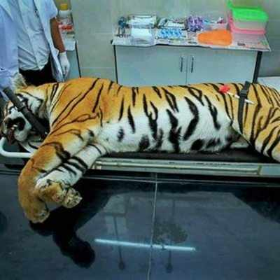 Tigress Avni's killer inexperienced: NTCA report