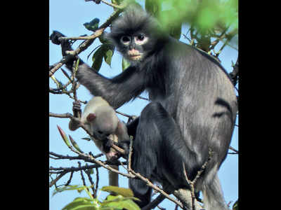 Newly discovered primate already faces extinction