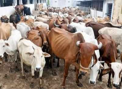 30 cattle starve to death in an animal shelter in Andhra Pradesh