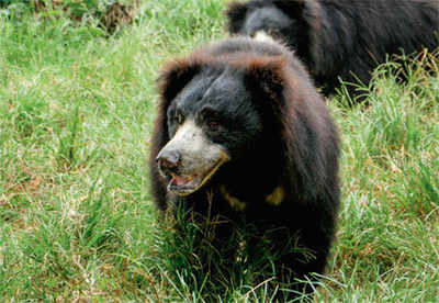 Bear mauls farmer couple in Tumakuru