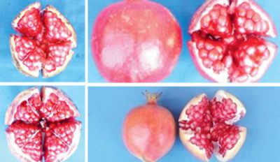 4 new varieties of pomegranate to flush market