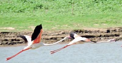 Karnataka: Greater Flamingos taking a short break in Karnataka