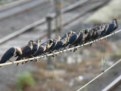 Bird Flu: 55 bird death complaints received by BMC, over 200 birds die due to avian influenza in Maharashtra on Tuesday
