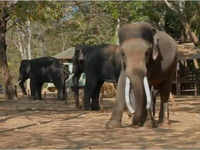 Camp in Karnataka's Shimoga helps in domesticating rescued wild elephants