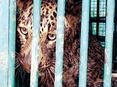 Leopard boards ship, enjoys week's stay