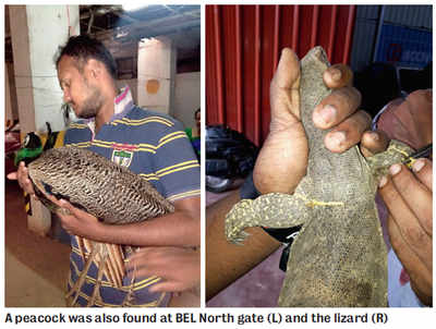 Abandoned monitor lizard rescued