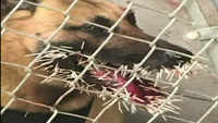 Police dog stuck by porcupine during pursuit