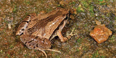 Once-endangered frog discovered at 15 locations, including Bannerghatta