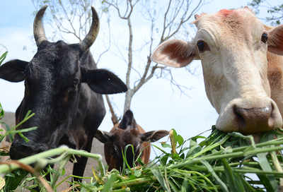 Foot and mouth disease affects cattle; immense losses forecast
