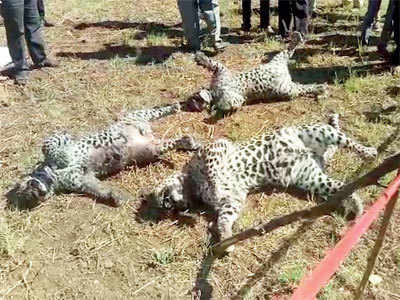 Carcasses of three leopards, crows and a dog found by forest dept in Bhor