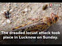 Locust attack in Lucknow and adjoining districts on Sunday