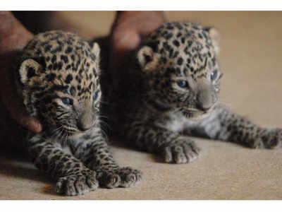 Pune Police bust leopard smuggling gang