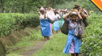 North Bengal tea industry suffering losses