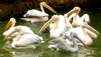 Coimbatore: Zoo welcomes rosy pelican hatchling after 14-odd years