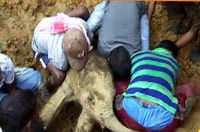Watch: Locals dig mud to rescue elephant calf in Golaghat