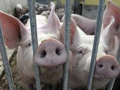 Gene editing may pave way for organ transplants from pig to humans