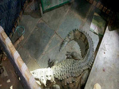 Farmer wakes up to find eight-feet-long crocodile under his bed in Vadodara
