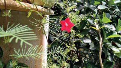 The greenskeeper: Cypress Vines