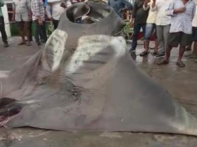 Karnataka: Two giant manta rays caught by fisherman in Malpe port