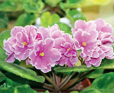 The greenskeeper: African Violets